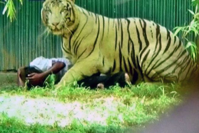 White tiger mauls man