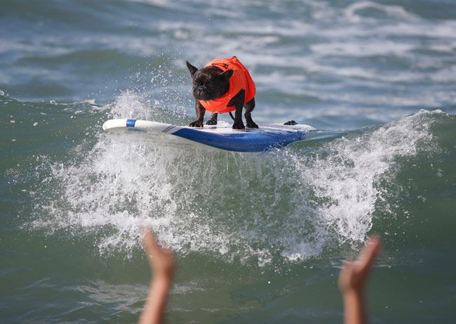 a dog is taking an exciting wave ride at the 6th Annual Surf City surf dog contest.
