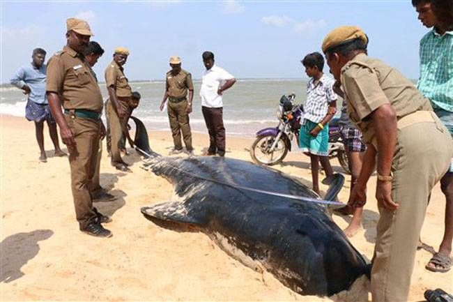 Dead whales washed ashore in Tamil Nadu