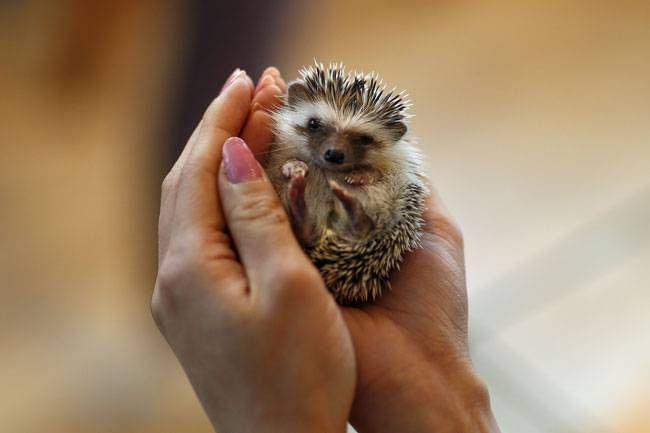 A woman holds a hedgehog at the Harry hedgehog cafe.