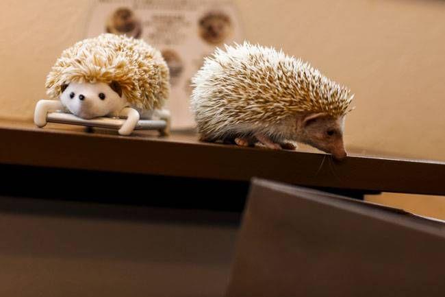 A hedgehog walks next to a mobile phone with a hedgehog cover at the Harry hedgehog cafe.