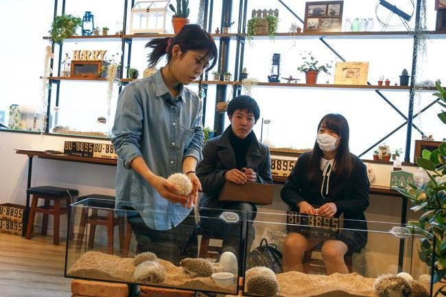 A staff member (L) takes a hedgehog from a glass enclosure at the Harry hedgehog cafe in Tokyo, Japan. Customers have been queuing to play with the prickly mammals, which have long been sold in Japan as pets.