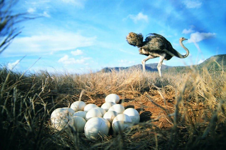 ostrich egg one is equal to twenty four hen eggs can serve ten people eight