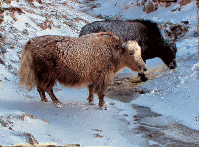 Yaks are your constant companions on your way up to Dzongri