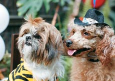 A Shih Tzu and a toy poodle all decked up for a party