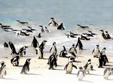 After weighty deliberations, Penguins take time out to play on Robbens Island
