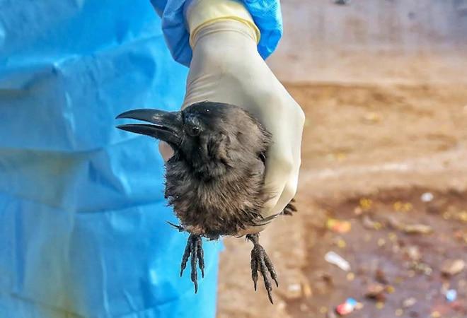 Bird flu outbreak in India: 8 states, 1 UT under avian influenza grip