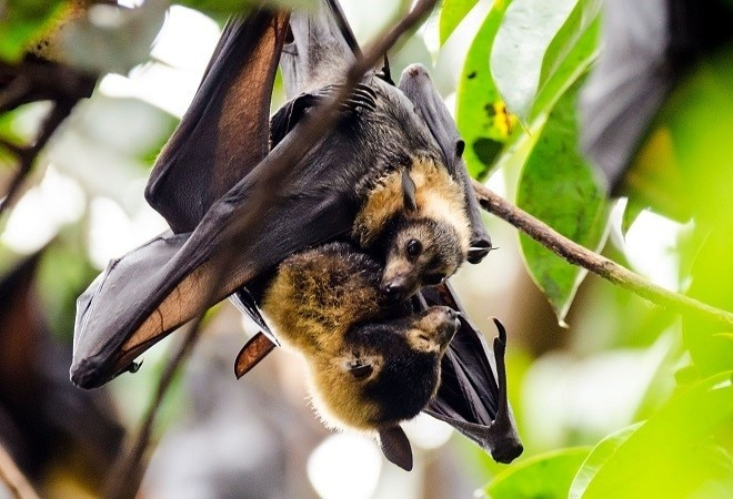 Coronavirus found in two Indian bat species; researchers recommend proactive surveillance