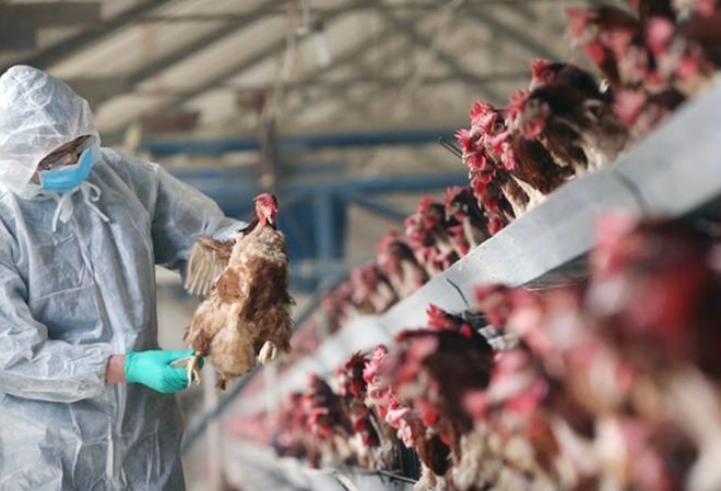 Bird flu in India: H5N1 first contracted to humans in Hong Kong in 1997