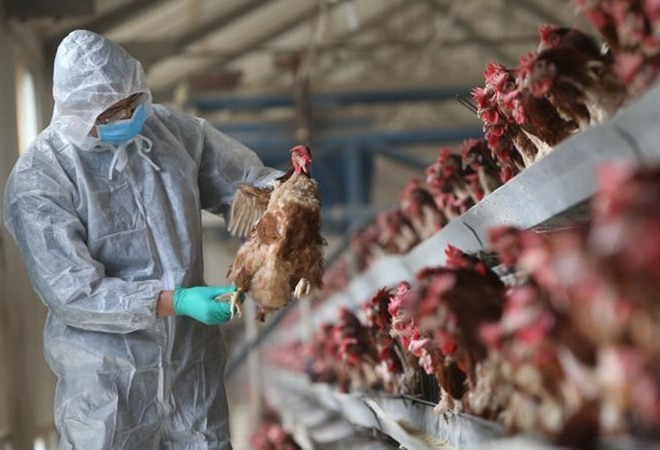 Bird flu: Sale of poultry products down 70-80%; prices of chicken crash 50%