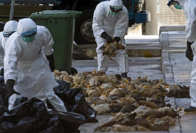 190 pigeons found dead in Ahmedabad city; samples sent for bird flu testing