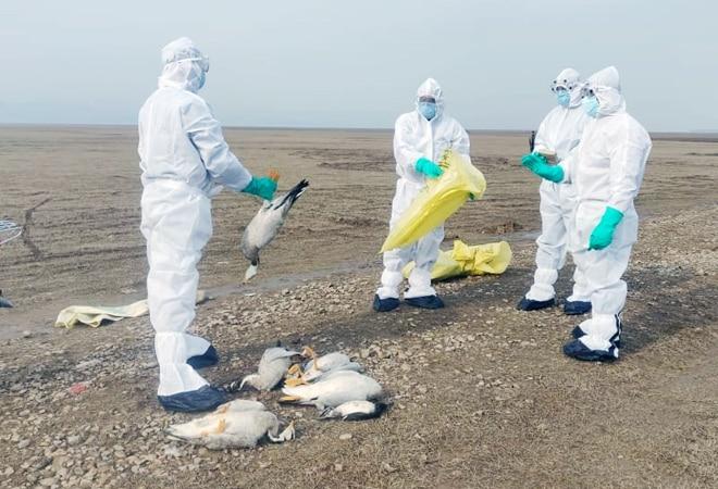 Delhi, Maharashtra latest to be hit with bird flu; culling begins