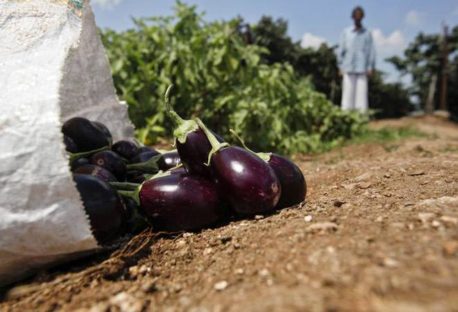 Trials of Bt brinjal, other transgenic crops made difficult; seed industry body calls it 'regressive'
