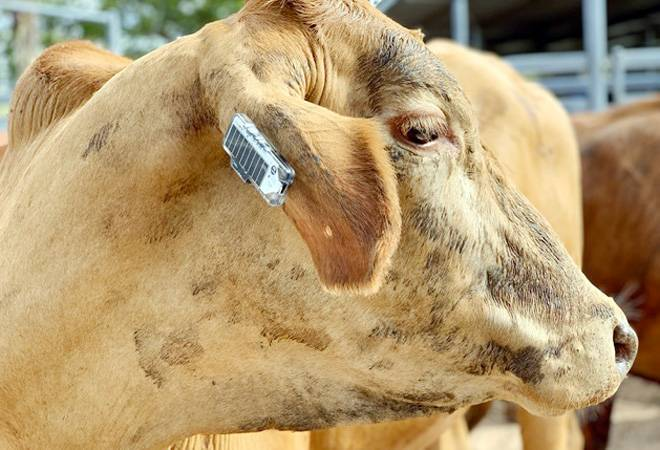 After wild elephant death in Kerala, cow badly injured in Himachal after fed with explosive-mixed eatables
