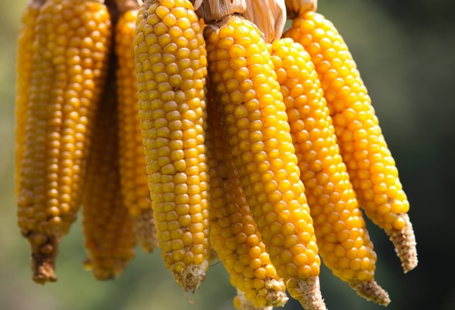 Rising corn exports amid rally in global price ease supply concerns