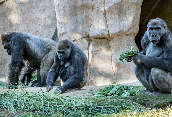 Gorillas test COVID positive at San Diego park in US