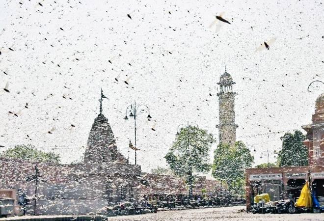 Is locust swarm invading Delhi? Here's the latest update