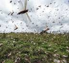Locust attack: Centre to buy sprayers from UK; use helicopters, drones to spray pesticides