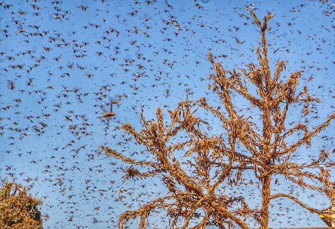Haryana govt issues high alert after locusts swarm enters Rewari, Gurgoan districts