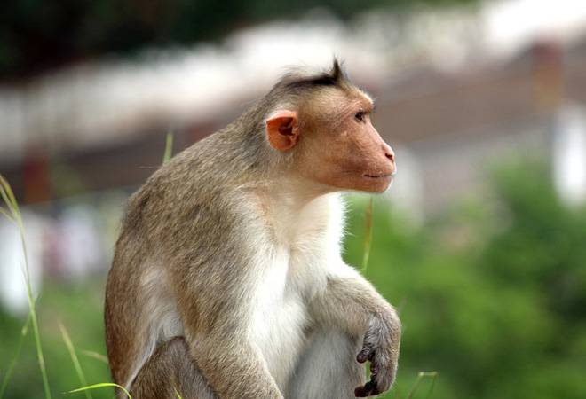 Coronavirus vaccine update: NIV-Pune to conduct clinical trials on 30 monkeys