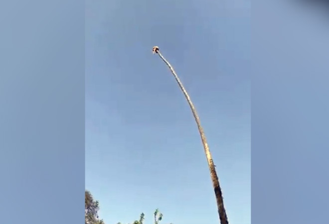 Man cuts extremely tall palm tree while sitting on it; here's what happens next