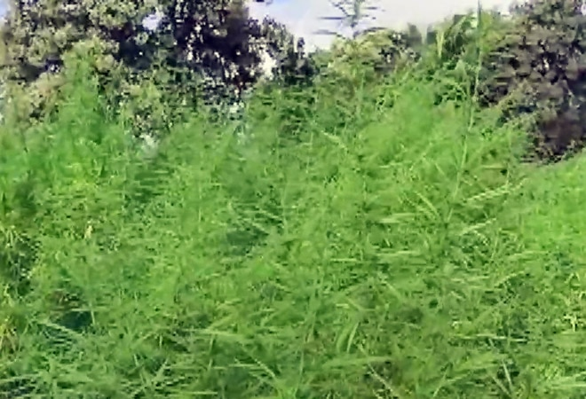 Narcos in Karnataka! Four-acre marijuana farm discovered in Rampura; Rs 4.2 crore worth of ganja seized