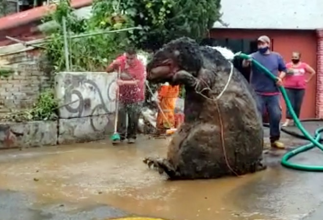Bear-sized rat found in Mexico City's drain