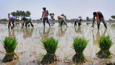 Direct seeded rice, Rice cultivation, Agriculture, Punjabwatercrisis