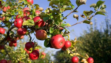 Geographical indication, Kashmiri apples, Horticulture, Kashmir