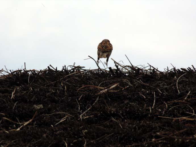 sparrow-1_032015020314.jpg