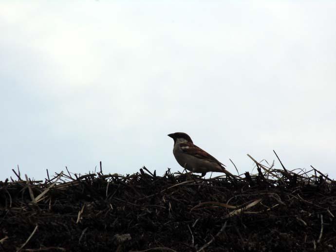sparrow-2_032015020251.jpg
