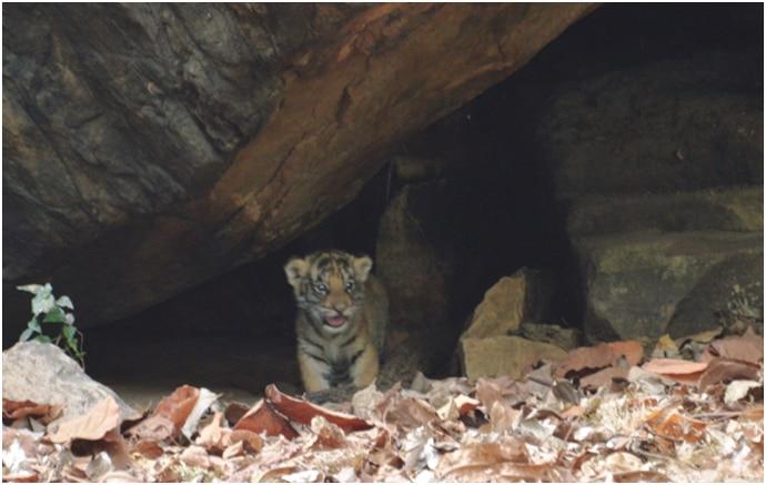 tiger-photo_112515043219.jpg