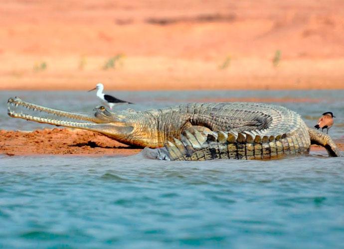 gharial-body_031016044735.jpg