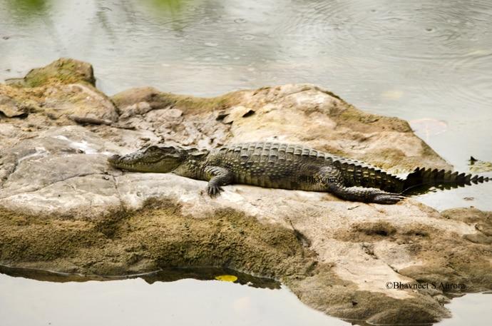 baby-crocodile_060216045406.jpg