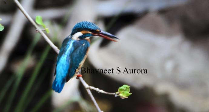 common-kingfisher_ma_060216045623.jpg