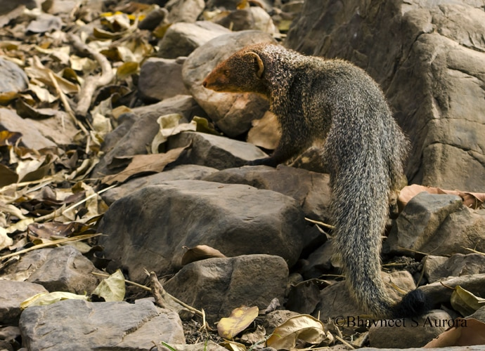 mr-mongoose_060216045955.jpg