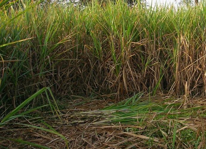 sugarcane690_091417124917.jpg