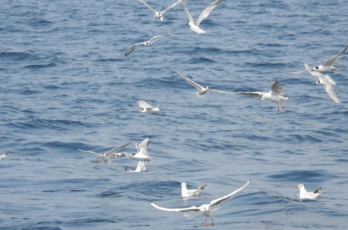 gullsforaging-copy_022418014501.jpg