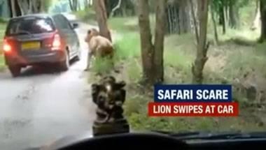 Lions, Wildlife safari, Bannerghatta National Park