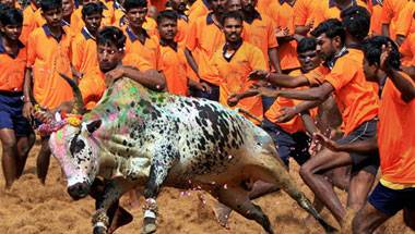 Tradition, Animal Rights, Protests, Jallikattu
