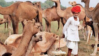 People for animals, Trafficking, Cattle, Camels