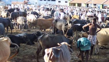 Animal abuse, Cattle trade, Beef Ban, Buffalo