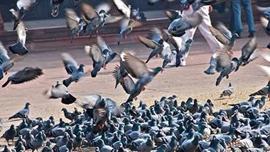 Wildlife, Birds, Pigeon