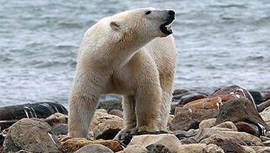 Arctic, Polar bears, Global warming, Wildlife