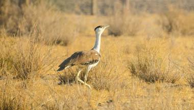 Species extinction, Wildlife conservation, India-Pakistan Relations, The Great Indian Bustard