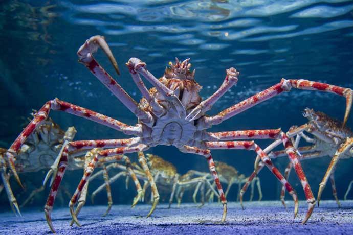 spider-crab_052218040119.jpg