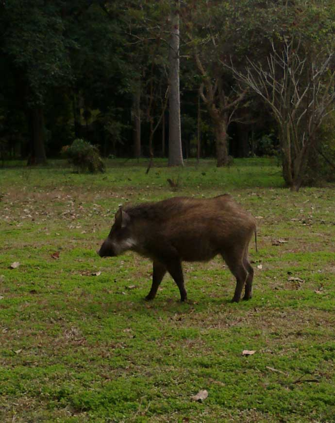 indian-willd-boar_ph_062018115741.jpg