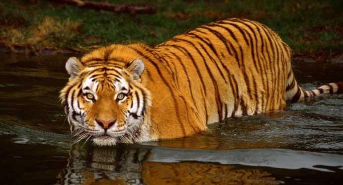 tiger-r_060618081703.jpg