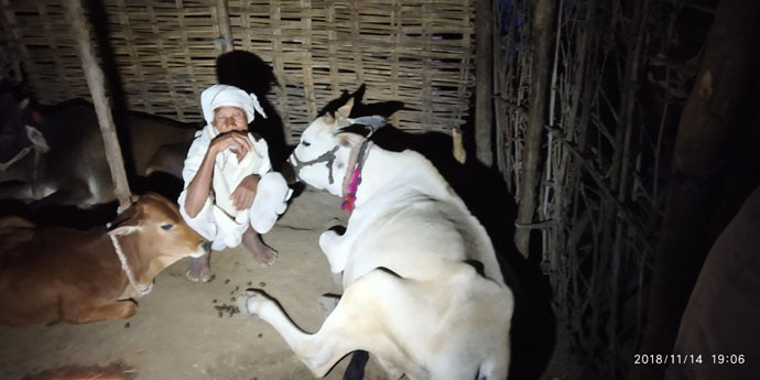 Nathu with his cattle. His brother was killed by T1 when they took village cattles for grazing.