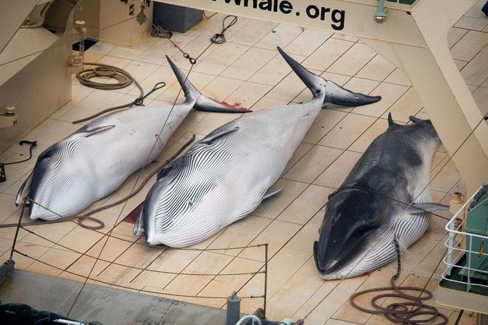 main_minke-whales-ja_122718032149.jpg